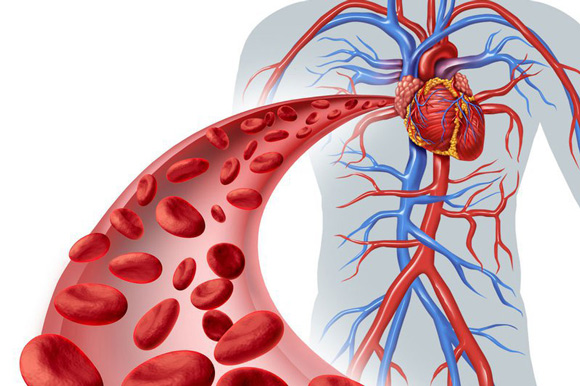hà thủ ô đỏ giúp lưu thông mạch máu ổn định tim mạch