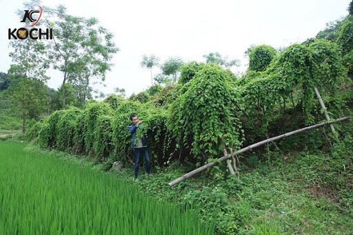 Kỹ thuật trồng cây hà thủ ô